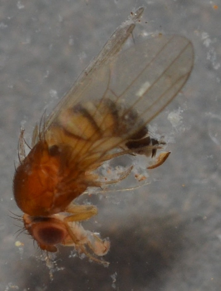 Drosophila_suzukii3.jpg