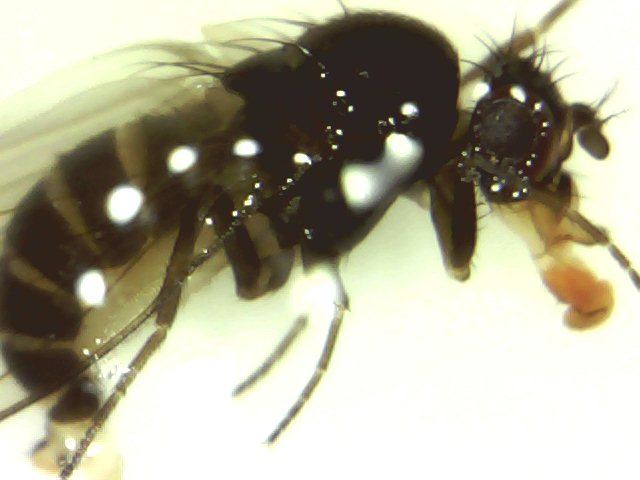Drosophila_sp._zimska_forma_1.jpg
