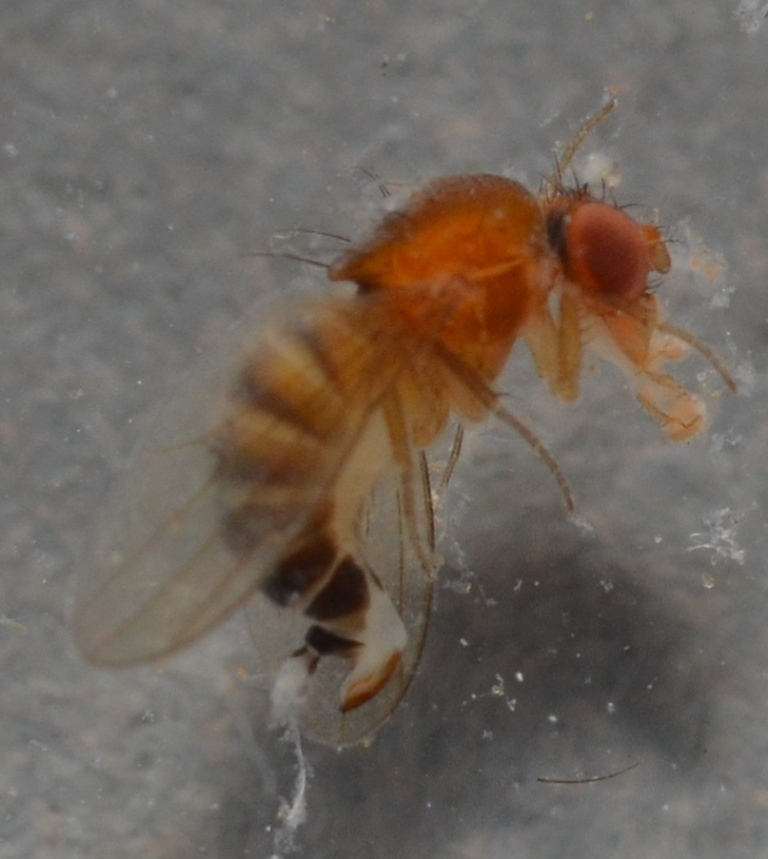 Drosophila_suzukii.jpg