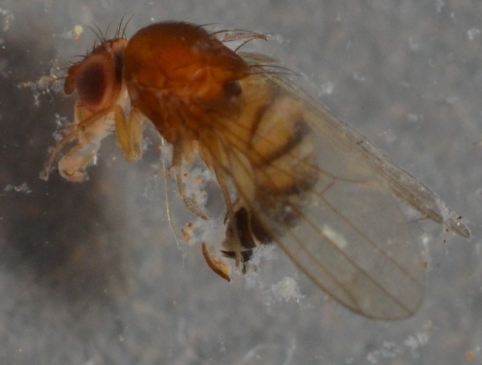 Drosophila_suzukii5.jpg
